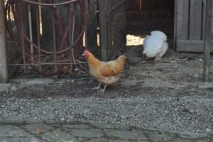 Two chickens search for food in the school's farmyard